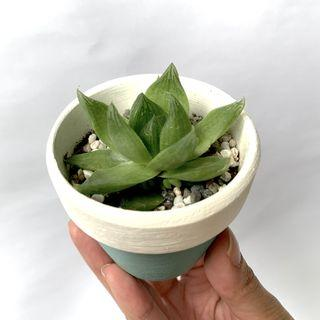 🚚 Haworthia in Handpainted Pot