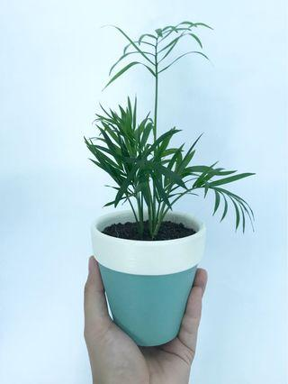 🚚 Parlor Palm in Handpainted Pot