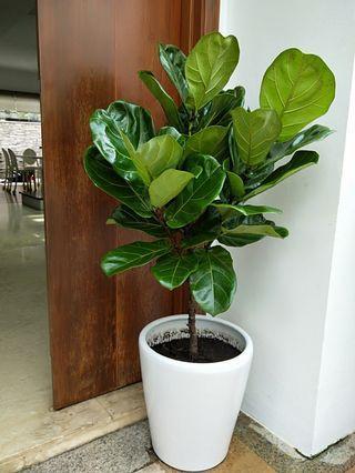 Fiddle fig plant in ceramic pot 1.5mH