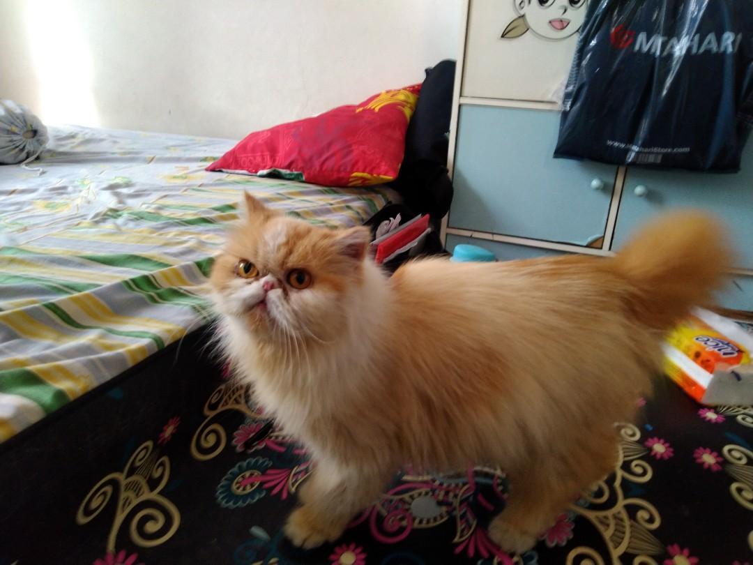 Unduh 76+  Gambar Kucing Persia Pignose Lucu Gratis