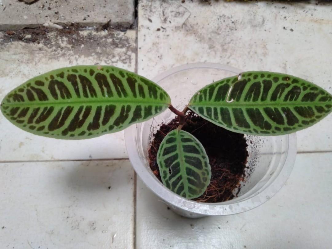 Labisia sp. Riau
