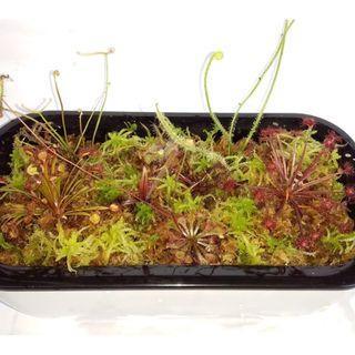 Custom make carnivorous plants terrarium in self watering pot