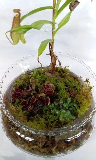 Unique present - Carnivorous plants self watering terrarium