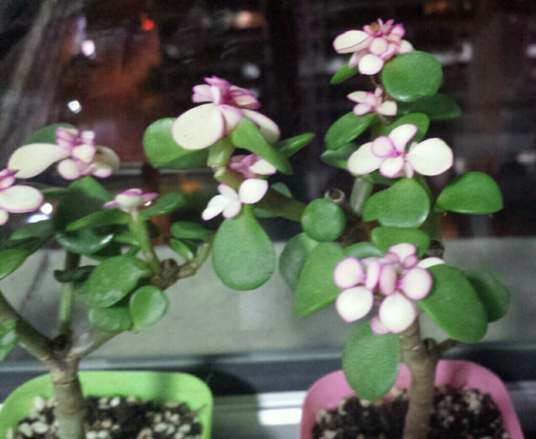 Mini tree Jade plant dwarf succulent pinkish whitish flower stems mini pink cactus plant indoor garden gift birthday teachers' day