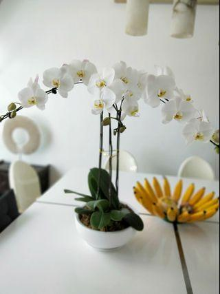 Phaelonopsis