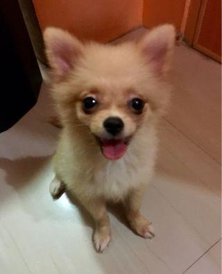 pomeranian - View all pomeranian ads in Carousell Philippines