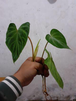 🚚 Philodendron verrucosum