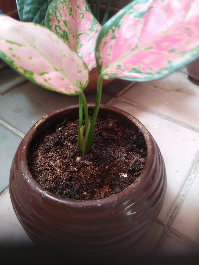 Indoor plant-Aglaonema