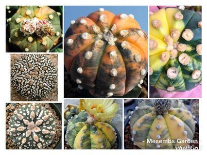 Astrophytum Varigated mixed seeds 10pc
