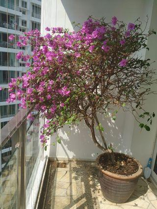 Bougainvillea in a large clay pot (~1.7m tall)