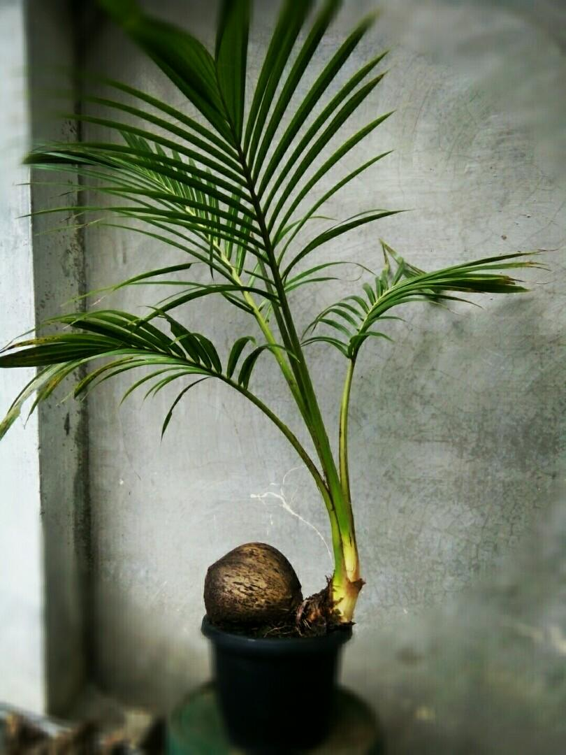 Coconut Bonsai For Sale Gardening Flowers Plants On Carousell