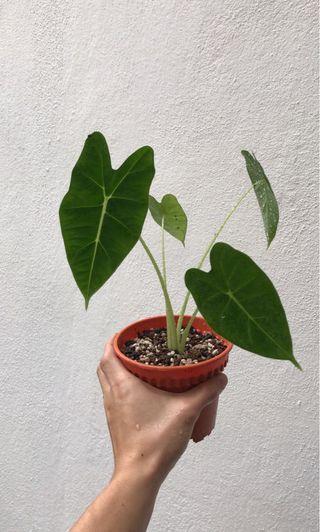 Alocasia Micholitziana (S Size)