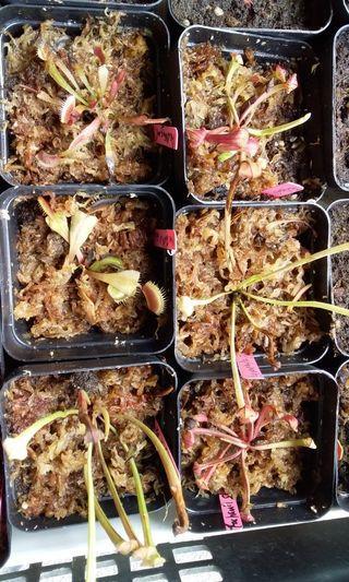 Small size carnivorous plants for terrarium making