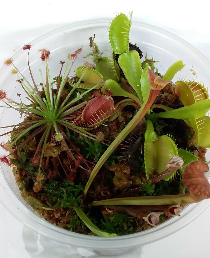 Small size carnivorous plants for terrarium making