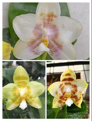 Phalaenopsis Yaphon Lover X Mituo Golden Tiger 'White Tiger' AM/AOS