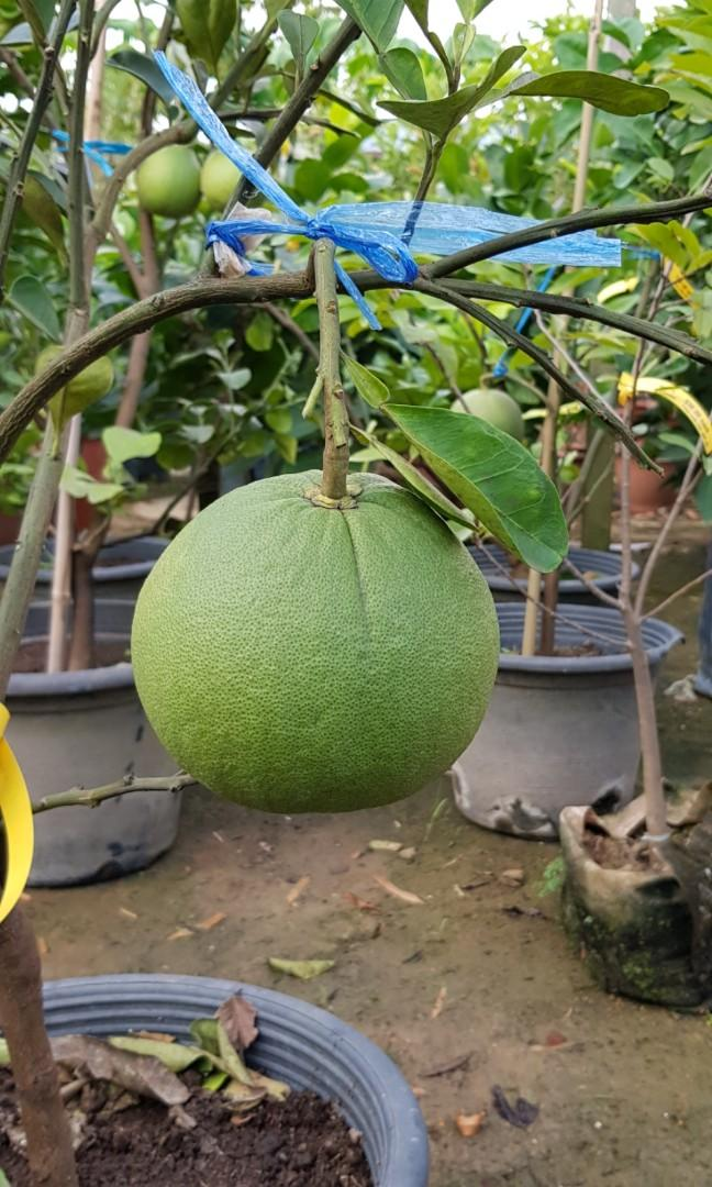 Fruit Plant - Pomelo with fruits (5ft)