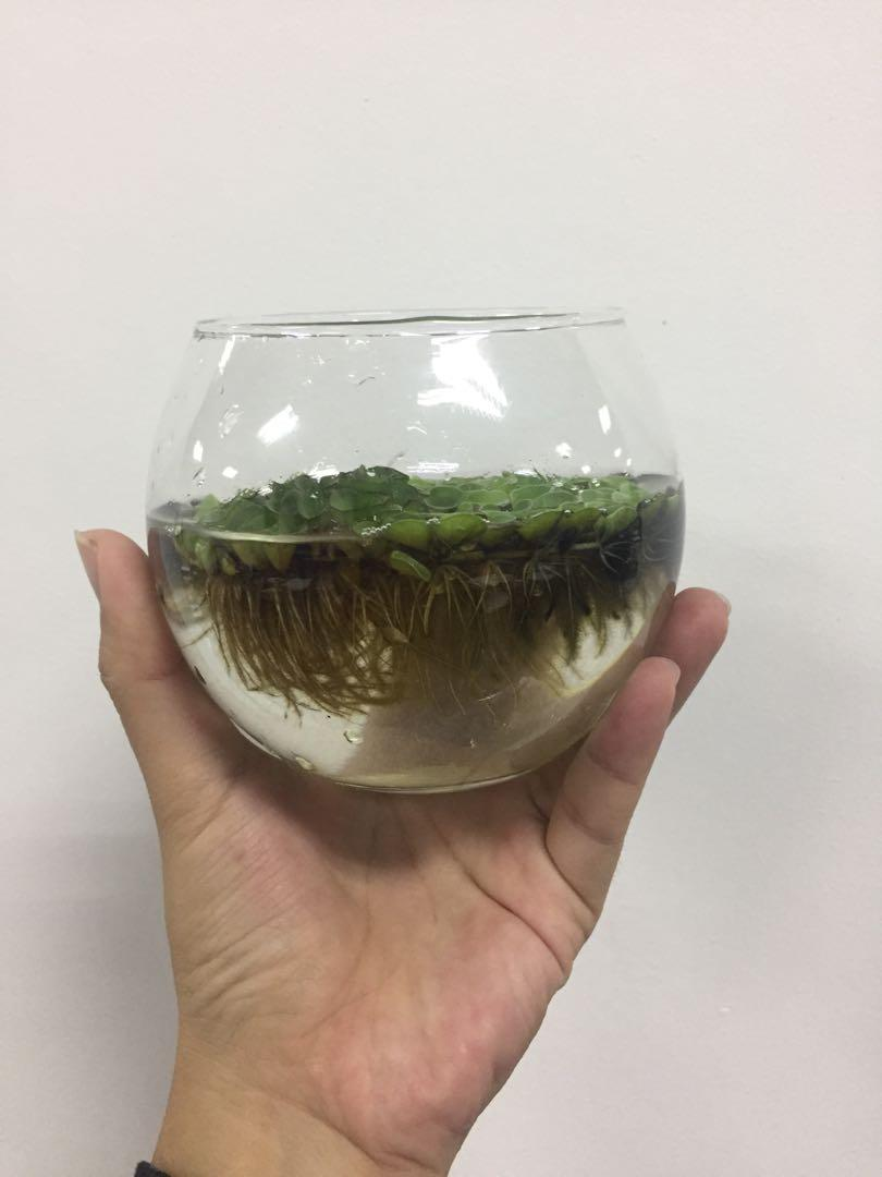 Glass Bowl with aquatic water plant