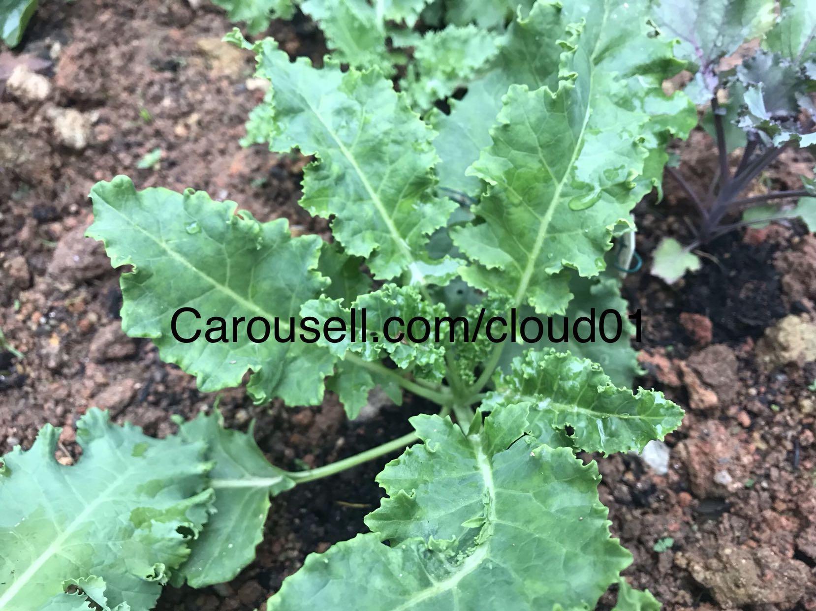 Kale seeds / seeds / vegetable seeds