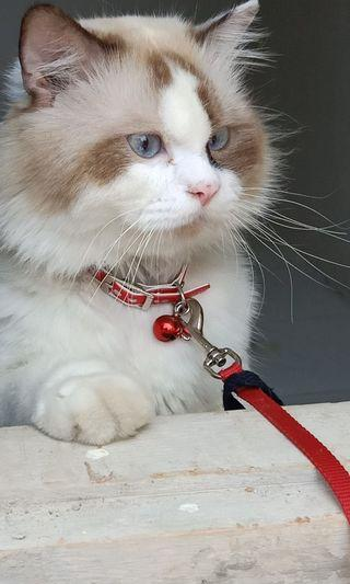 Mencari kucing Betina untuk dikawinkan