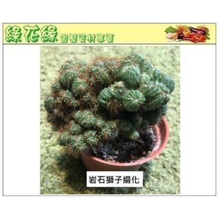 {綠花緣} 岩石獅子綴化 多肉植物 - 3吋盆