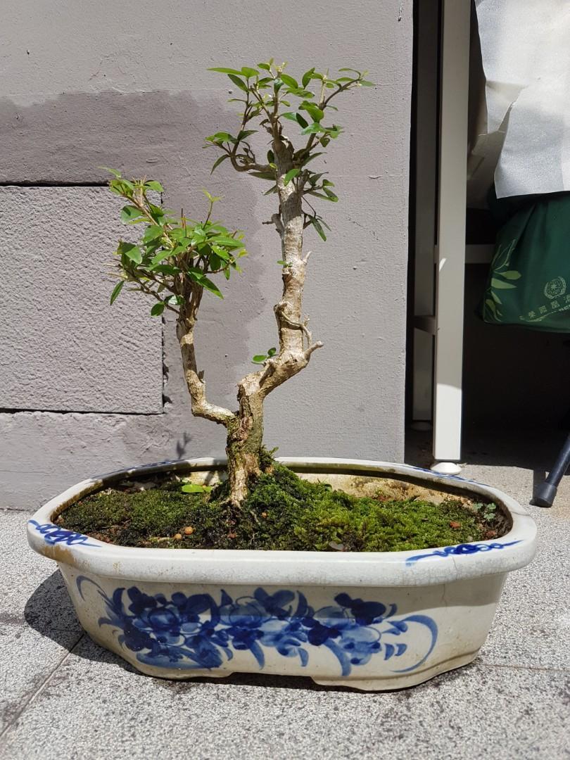 Shui mei bonsai plant water jasmine