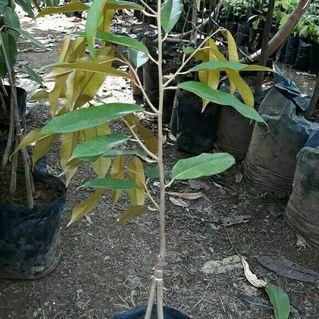 Bibit durian musang king kaki tiga