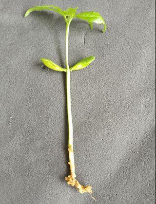 Neem seedlings for sale