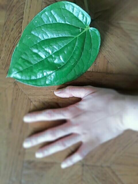 Fresh Betel Leaves ORGANIC