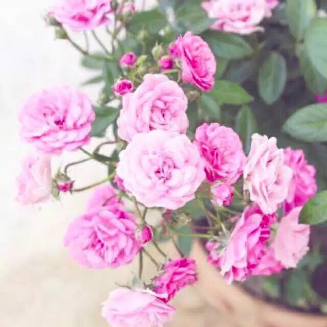 Bunga mawar Mini