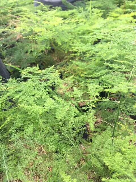 Tanaman Hias Asparagus Plant
