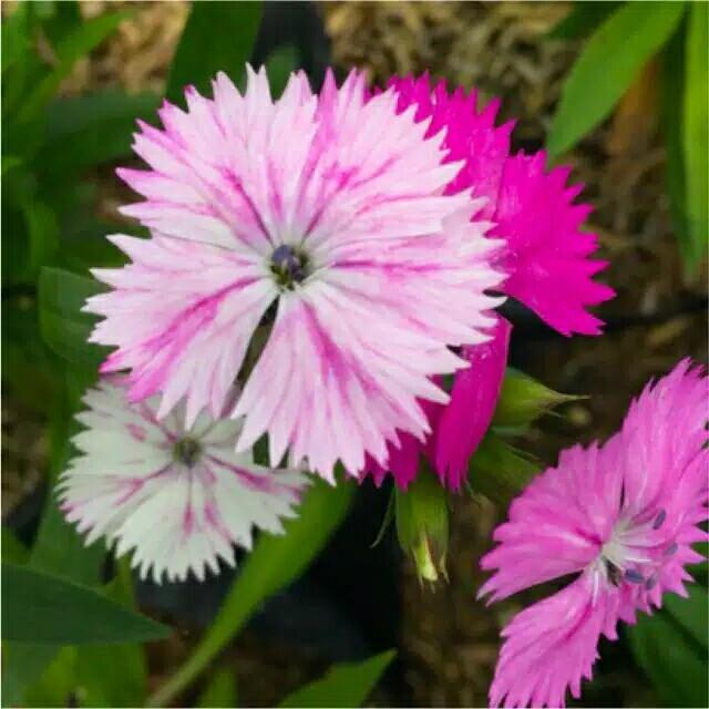 Tanaman Hias Bunga Dianthus mini