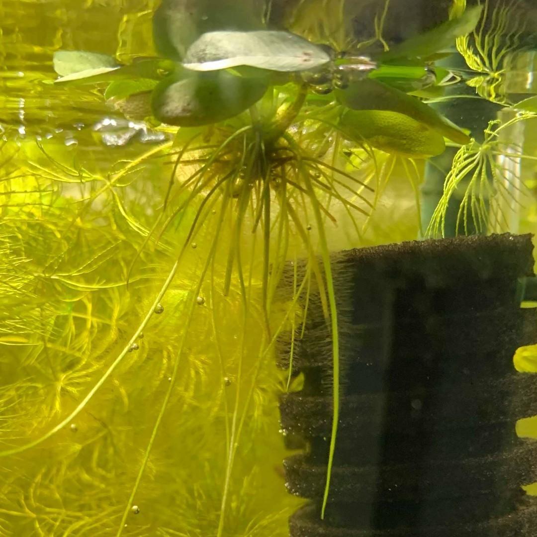 🍀Amazon frogbit ( Limnobium laevigatum ) frog bit floater plant for planted tank betta guppy fry fish breeding