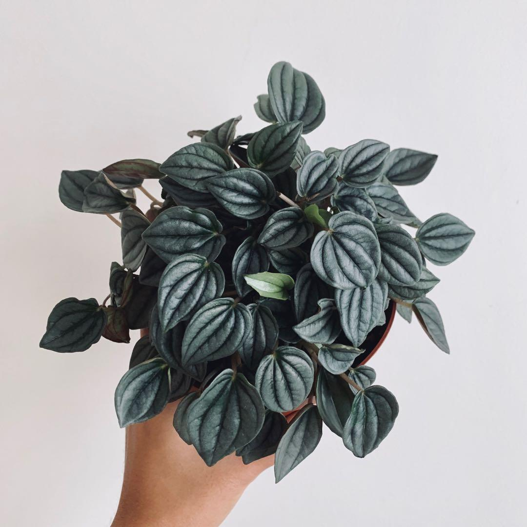 Peperomia Napoli Nights Gardening Plants On Carousell