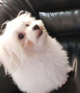 Anjing maltese 4 bulan turunan  champion