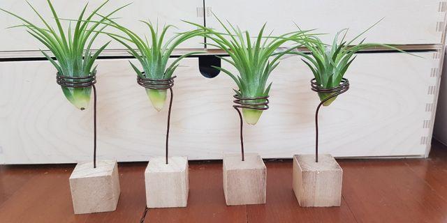 Air plant, desktop plant, indoor plant, gift, home office kitchen decoration