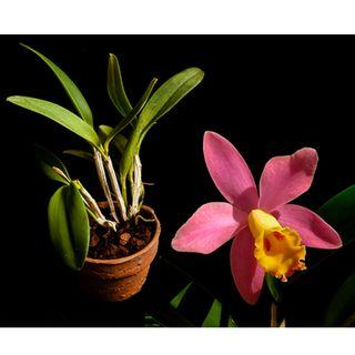 Cattleya Crystelle Smith 'N.R.' HCC/AOS Miniature Orchid