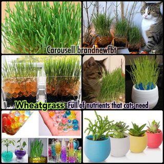Wheatgrass seeds set with flower pot + water balls beads