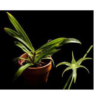 Angraecum calceolus miniature Orchid *Easy Grower*