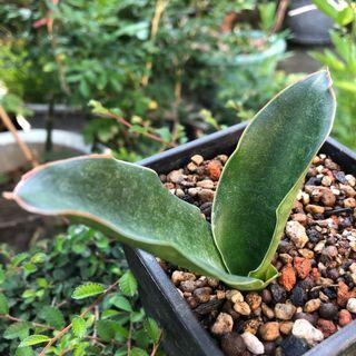 深綠紅邊虎尾蘭 龍舌蘭科 多肉植物