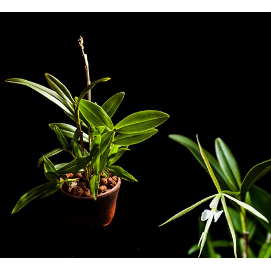 *CLEARANCE* Epidendrum nocturnum orchid *FRAGRANT*