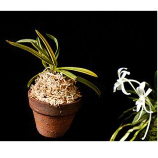 Neofinetia falcata 'Fugaku' 富嶽 miniature orchid *FRAGRANT*