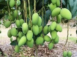 後花園巨大的土芒果樹