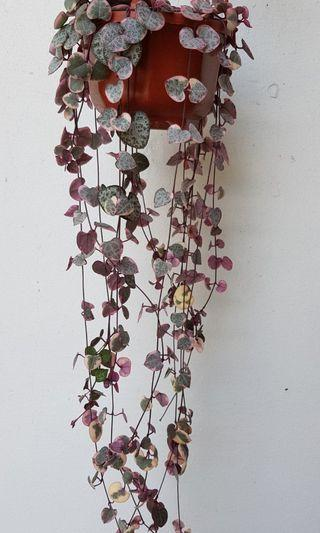 Hanging Succulent, string of hearts Variegated ,potted plant, outdoor plant, home, garden, balcony decoration. Gift
