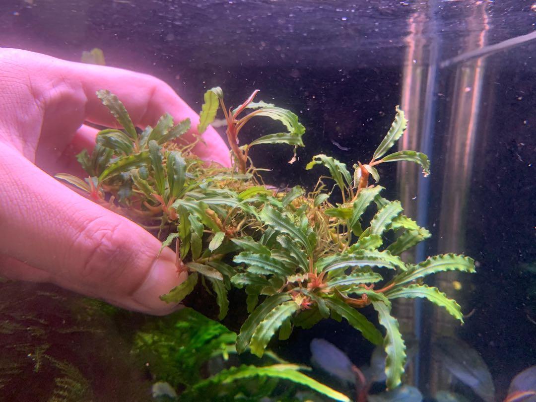 Bucephalandra sp submersed form