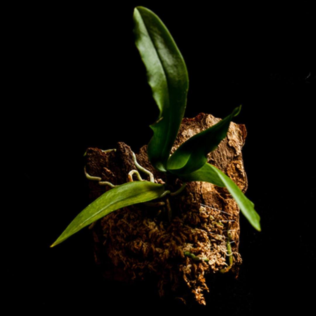 Gastrochilus japonicus miniature Orchid