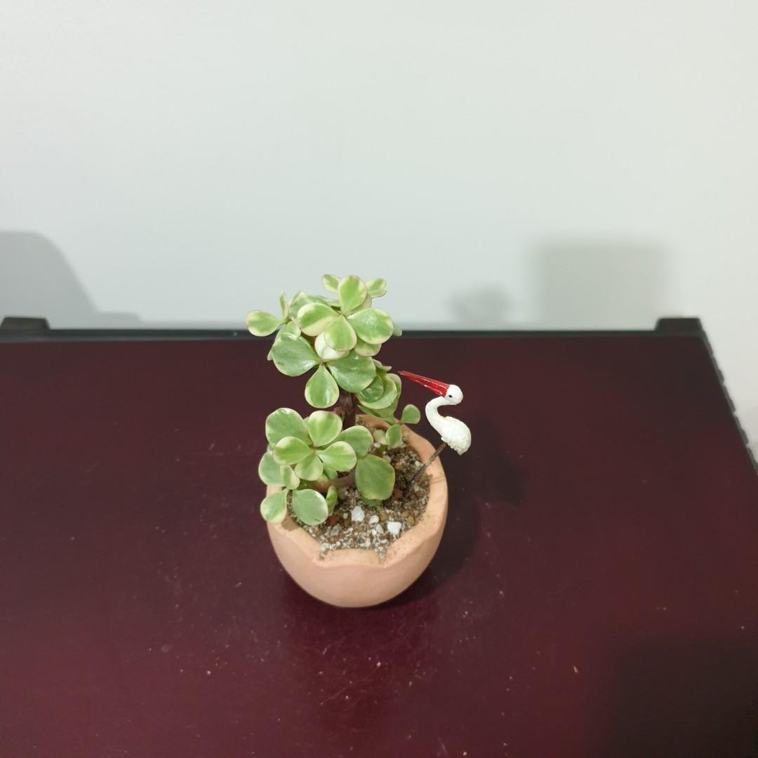 Mini Variegated Jade Plant (B106)