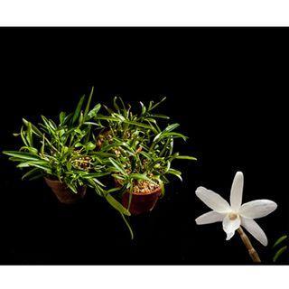 Dendrobium moniliforme Compots (10+ Seedlings per pot)