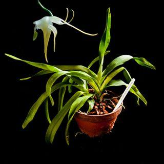 *REDUCED* Aeranthes grandiflora Orchid (Fragrant)