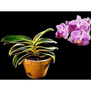 Phalaenopsis Sogo Vivien Orchid (Variegated)