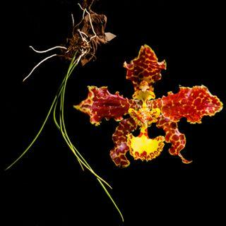 Trichocentrum stacyi Orchid (RARE)